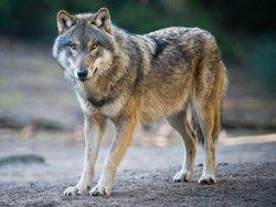 Dormir avec les loups - Parc Omega