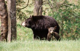 Safari photo à l'ours noir, Charlevoix