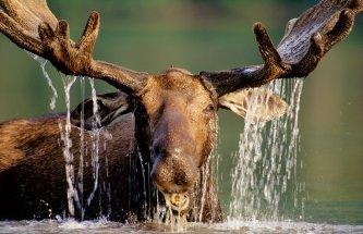 L'orignal, roi des forêts québécoises