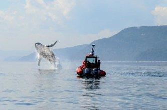 Saut d'une baleine à bosse