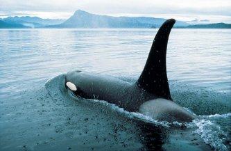 Observation des orques