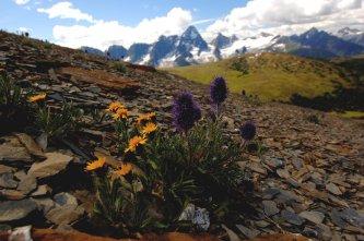 Fleurs alpines dans le Glacier National Park
