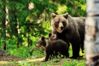 Famille d'ours brun