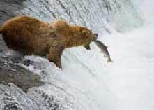 Observation du Grizzly à Stewart