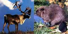 Le caribou et le castor