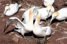 Les fous de bassan sur l'Île Bonaventure