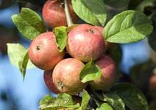 Le temps des pommes au Québec