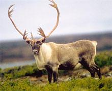 Caribou dans la taïga