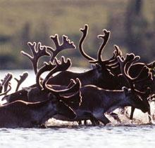 Horde de caribous