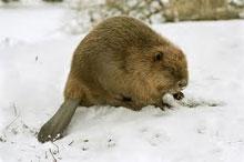 Castor en hiver