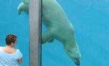 Ours polaire au Zoo de Saint-Félicien