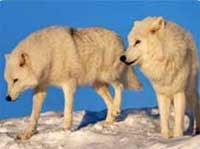 Loups au Fjord du Saguenay Québec