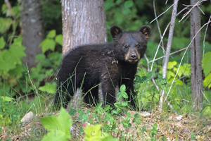 Observation de l'ours au Québec