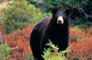 Ours noir dans Charlevoix
