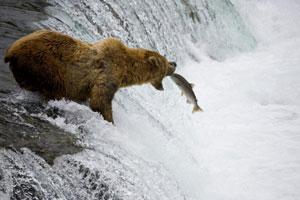 Observation du grizzly