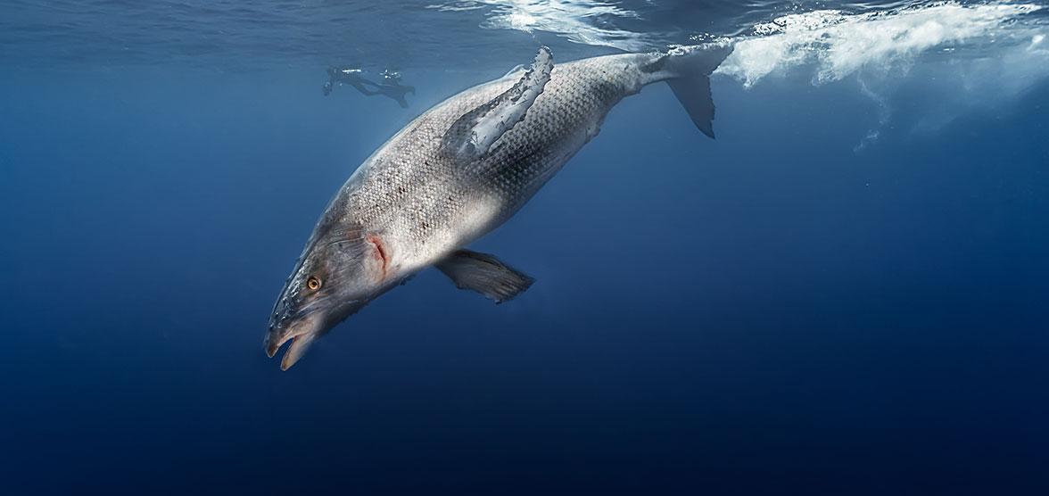 La baleine saumonée