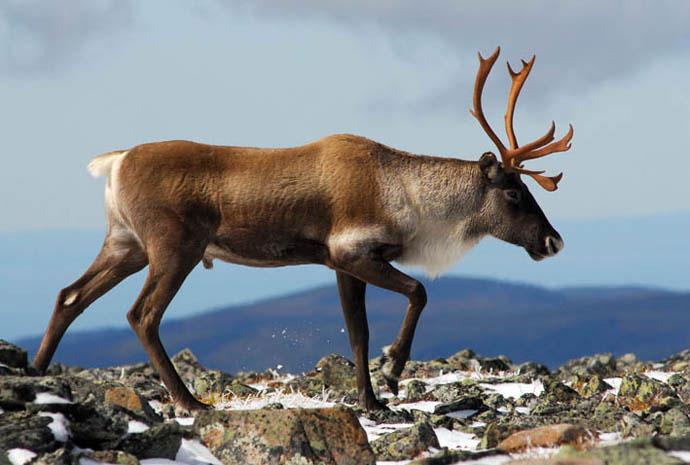 Caribou sur le Mont Albert